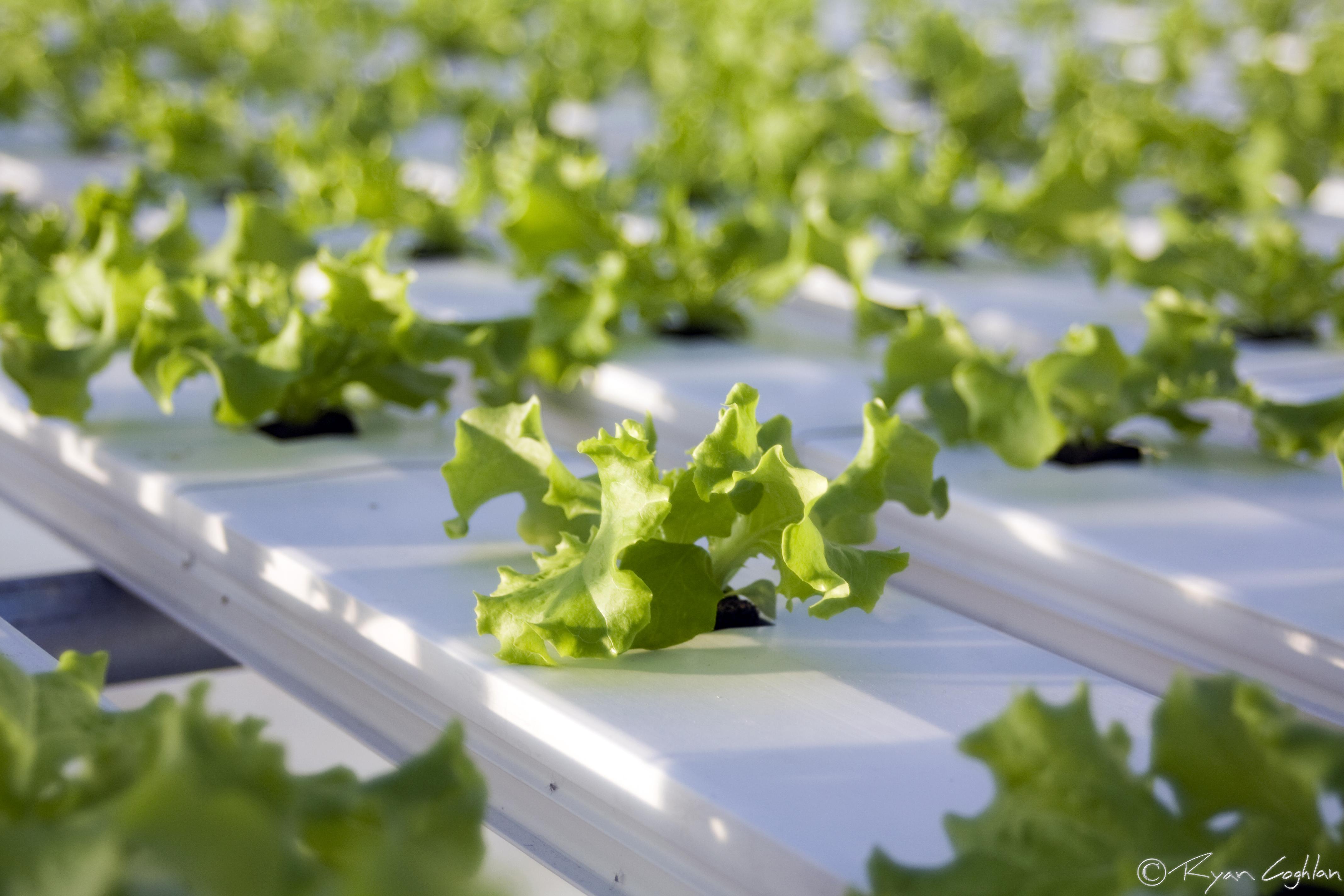 Hydroponics 101 what is hydroponics lakewinds food co op for Hydroponics aquaponics