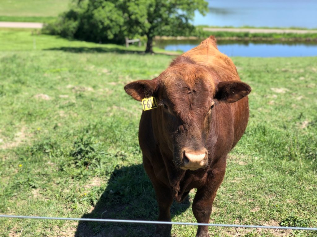Peterson Beef Limousin Cattle