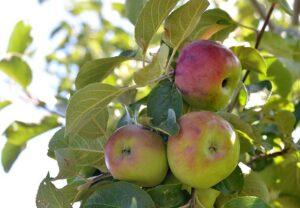 Local Apple Farmer Charlie