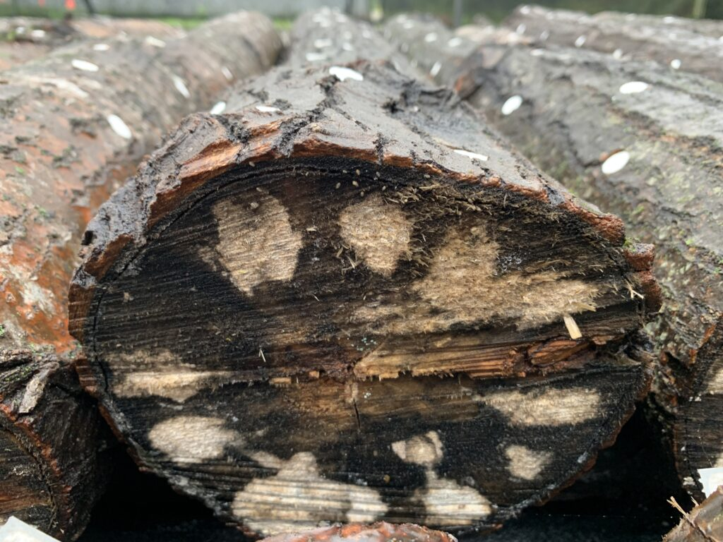 Mycelium Grows in the Outer Layer of the Log