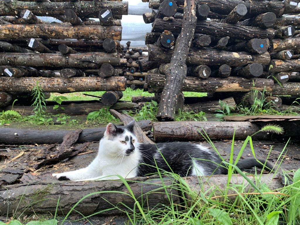 Spore the Cat Rests Amongs the Stacks of Mushroom Logs