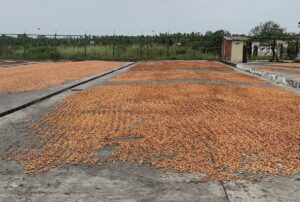 Cacao Beans Drying in Sun